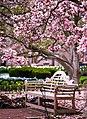 Magnolia in Smithsonian Gardens in April (17427062348).jpg