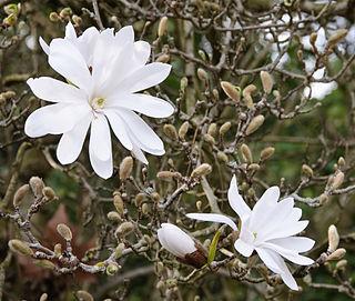 <i>Magnolia stellata</i> species of plant