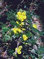 Mahonia aquifolium ja.jpg