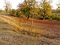 Mahua's summer spread in Khos, Devgadh Baria.jpg