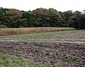 Maize field adjoining Heath Plantation - geograph.org.uk - 1027030.jpg