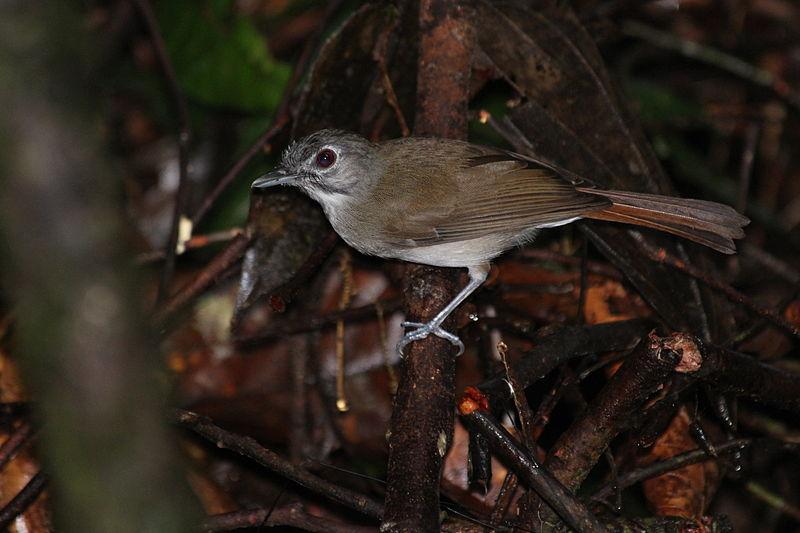 Bird species in Danum valley