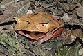 Malayan Leaf Frog (Megophrys nasuta) (8746940973).jpg