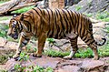 Malayan Tiger walking.jpg