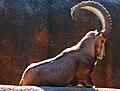 Male Nubian Ibex.jpg