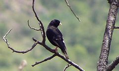 Male Purple Indigobird (Vidua purpurascens).jpg