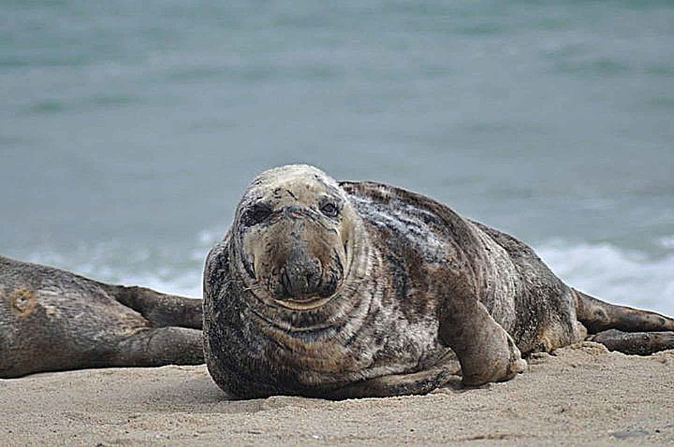 Male gray seal marine mammal animal halichoerus grypus