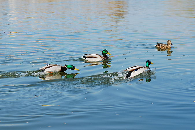 Male mallard chasing away other males.jpg