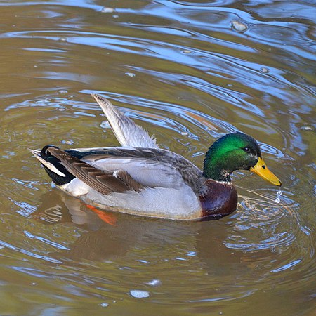 Male mallard suffering from angel wing.jpg