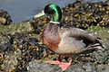 Mallard Duck at McLaughlin Eastshore State Park.jpg