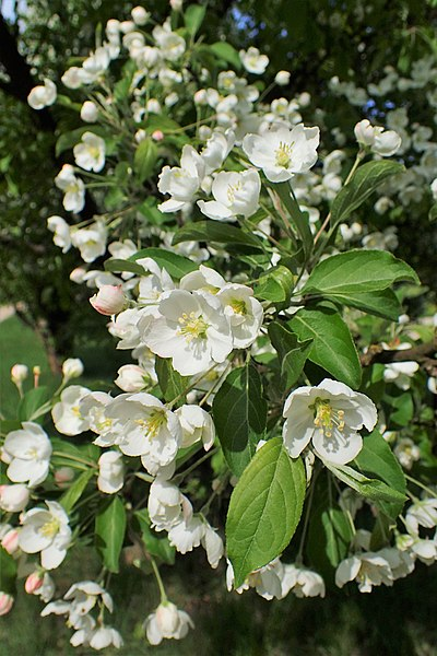 File:Malus floribunda kz03.jpg