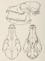 Mammals of northern Alaska on the Arctic slope (1956) Alopex lagopus inuitus skull.png