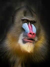 Mandrill portrait (2), Berlin Zoo.jpg