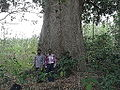 Mangifera indica-tree-mathur-yercaud-salem-India.JPG