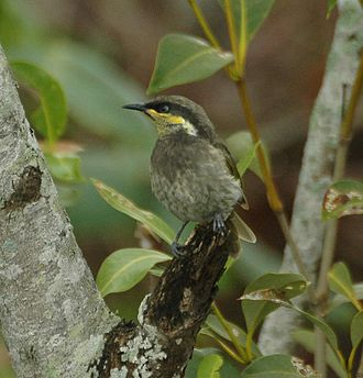 Fitzroy River (Queensland) - Image: Mangrove Honeyeater Decept.Bay Dec 06