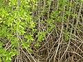 Mangroves in Thailand 2013 0628.jpg