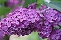 Mani ziedi My flowers - panoramio (42).jpg