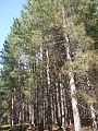 Manitoba old growth red pine.jpg