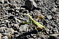 Mantis religiosa, female, adult 3 - interacting with unidentified yellow jacket.jpg