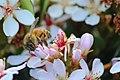 Maroon Dam Bee.jpg
