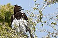 Martial Eagle Looking for Guineafowl.jpg