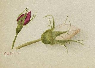 Untitled (Rosebuds)