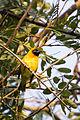 Masked weaver - Queen Elizabeth National Park, Uganda (2).jpg