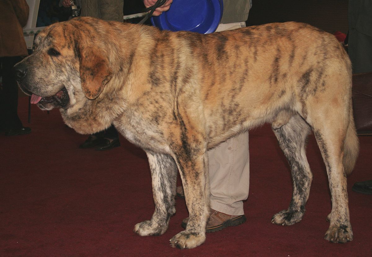 Is A Mastiff A Foundation Dog Breed