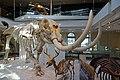 Mastodon Los Angeles, Natural History Museum.jpg