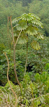 Mayombe-parasolier