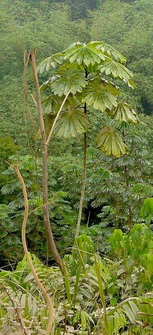 Mayombe - Umbrella tree (Musanga cecropioides) in the Mayombe forest
