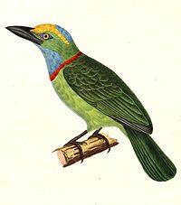 Megalaima henricii 1838.jpg