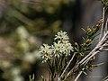 Melaleuca trichostachya Burke River Boulia Queensland P1030932.jpg