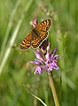 Melitaea sp. and Dactylorhiza fuchsii.jpg