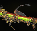 Membracidae - tree-hopper - Buckelzikade with their offspring (5086489014) cutted.png