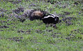 Mephitis mephitis Striped skunk alerted Las Trampas.jpg