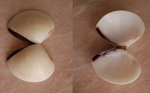 Meretrix (bivalve) - A whole shell of Meretrix lyrata showing both the outside and the inside