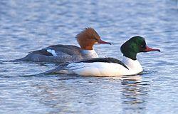 Mergus merganser, female and male, Vaxholm, Sweden.jpg