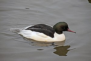 Common merganser - M. m. merganser, male in Sandwell, England