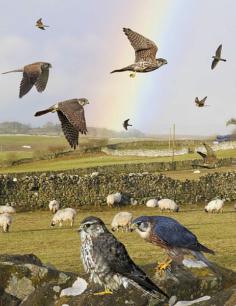File:Merlin from the Crossley ID Guide Britain and Ireland.jpg