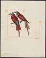Merops nubicus - 1820-1863 - Print - Iconographia Zoologica - Special Collections University of Amsterdam - UBA01 IZ16800333.tif