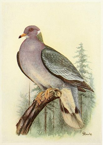 Allan Brooks - Illustration of a band-tailed pigeon