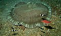 Mertens Carpet Sea Anemone (Stichodactyla mertensii) (8455526229).jpg