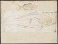 Mesoprion chrysurus - - Print - Iconographia Zoologica - Special Collections University of Amsterdam - UBA01 IZ12900293.tif