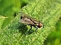 Metopia spec. (Sarcophagidae) - (imago), Elst (Gld), the Netherlands.jpg