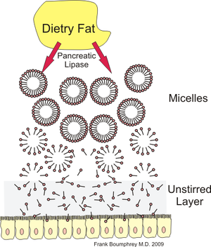 Micelle fat absorption.png