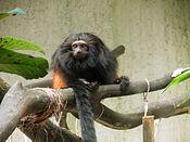 Mico leao preto SP Zoo.jpg