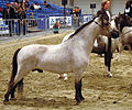 Miniature horse stallion in show.jpg