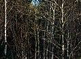 Mixed bare saplings 3.jpg