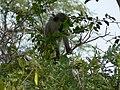 Monkey see (393943086).jpg